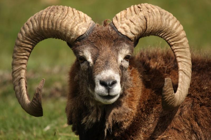 The mouflon, iconic animal
