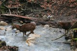 mouflon-riviere-6252-1976
