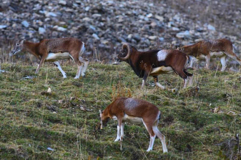 mouflon-rut-0734-copie-1974